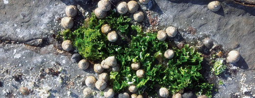 Australian Native Seaweed for Diet Diversification